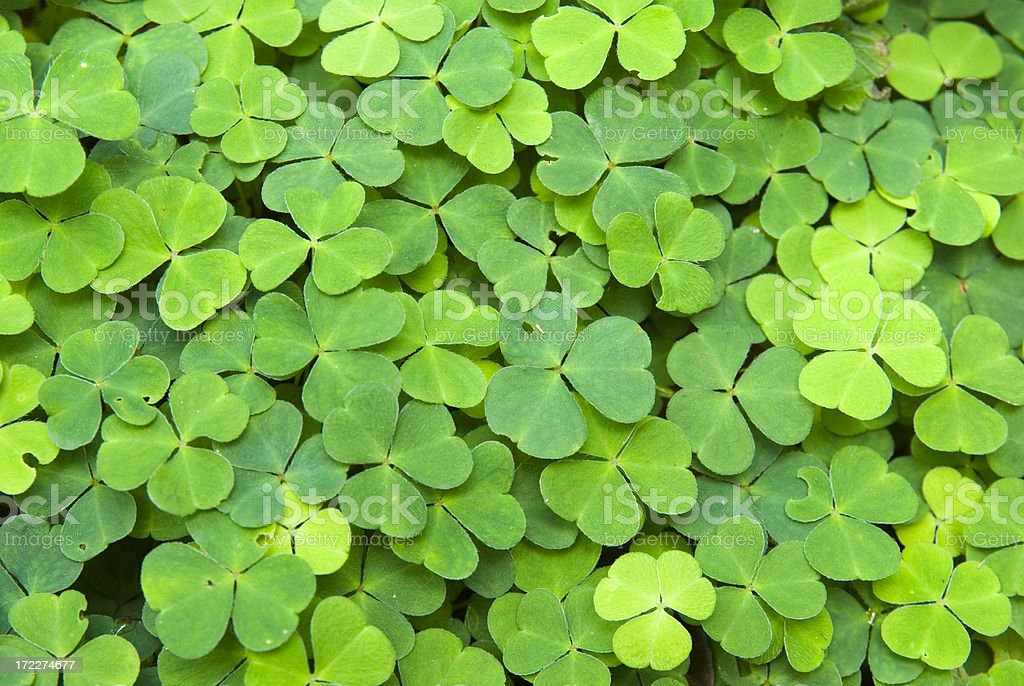 Flower Bed of (lucky) Clover royalty-free stock photo