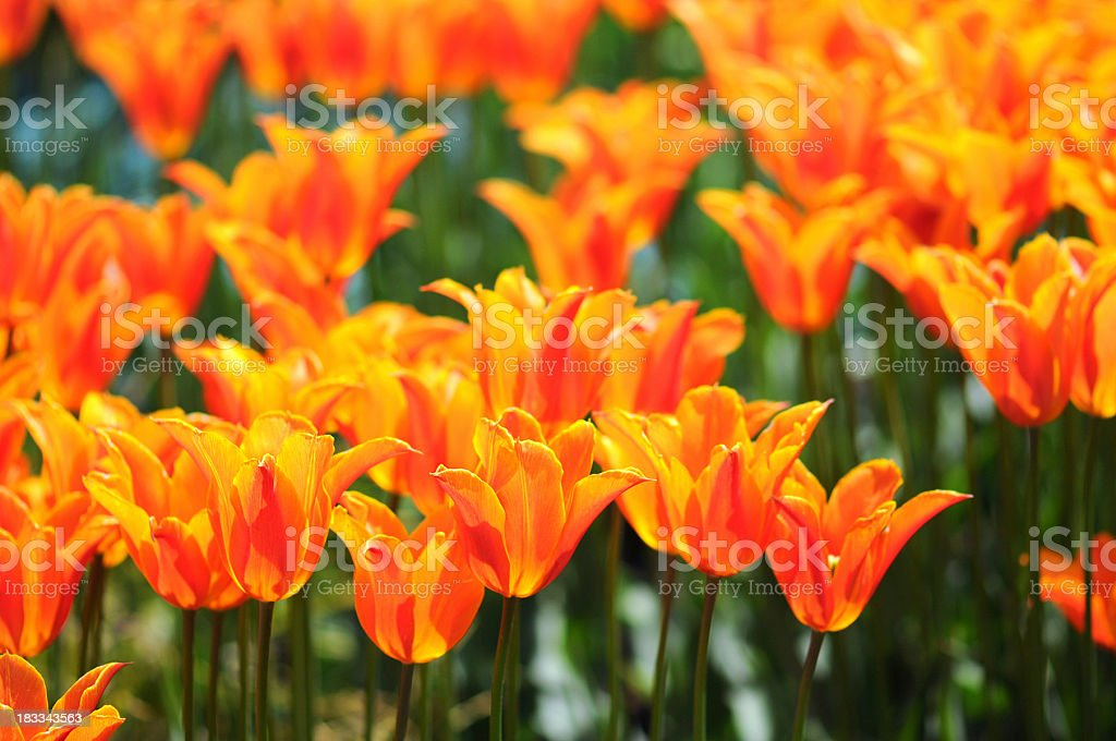 flower bed of orange tulips in backlit stock photo