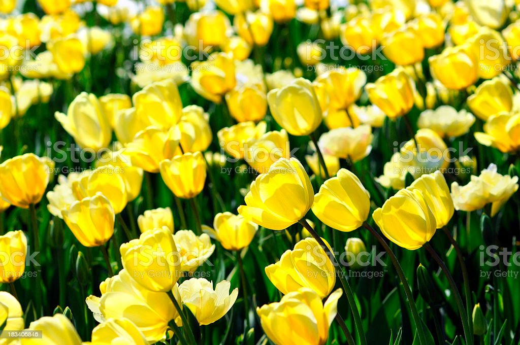 flower bed of orange yellow tulips in back lit stock photo