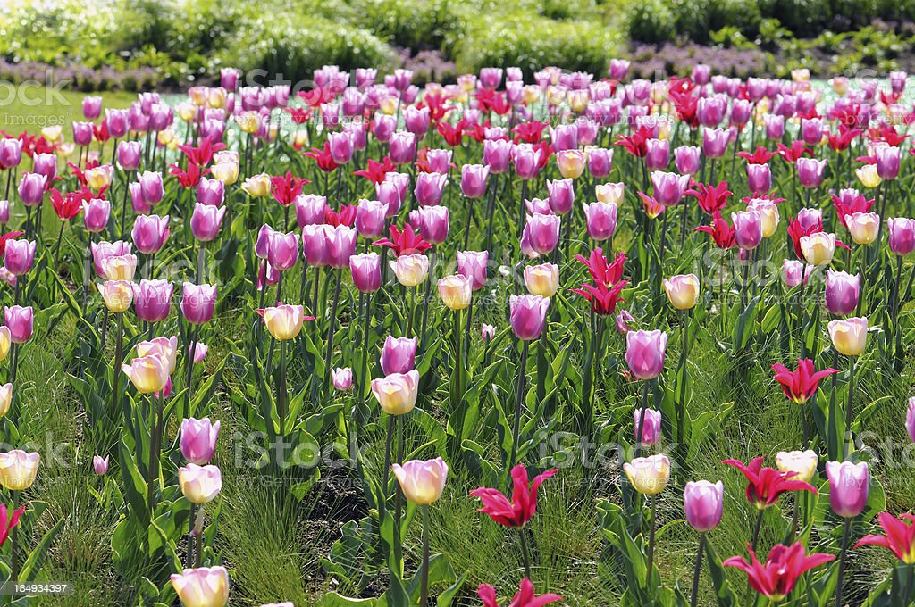 Flower bed of pink yellow tulips in springtime stock photo