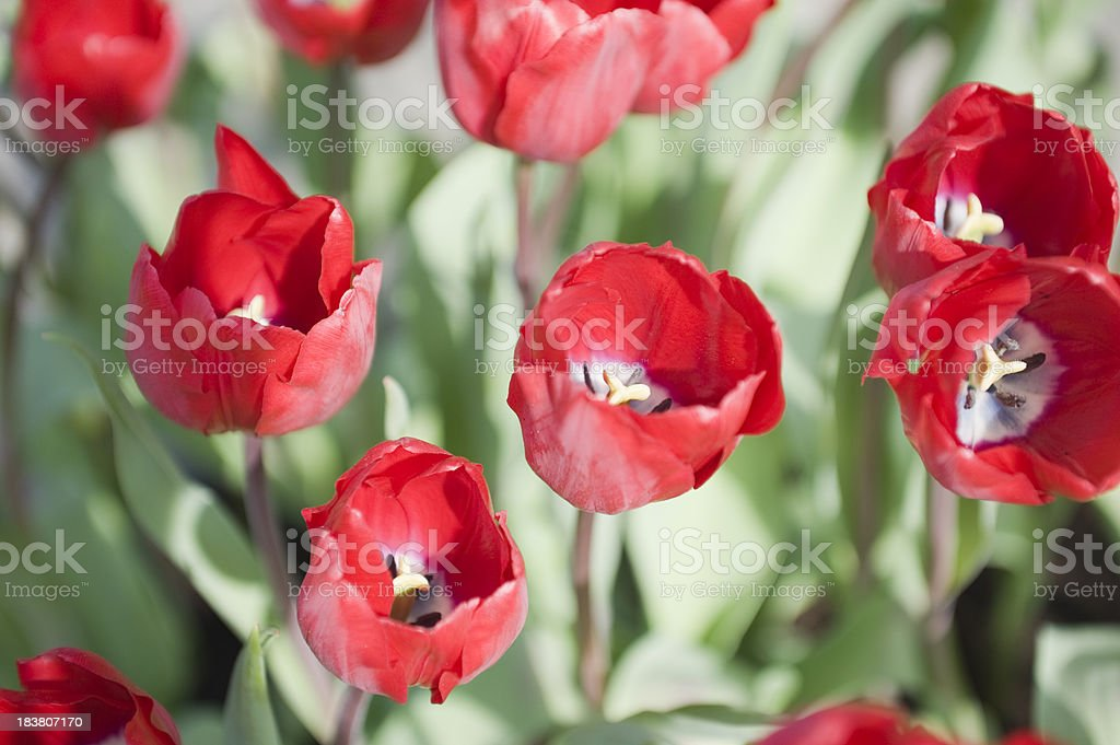 flower bed of red tulips stock photo