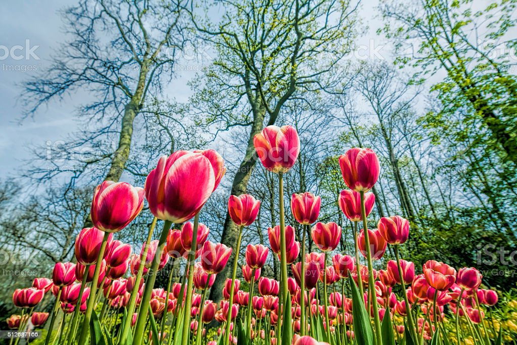 Flower bed of red tulips under trees in park stock photo