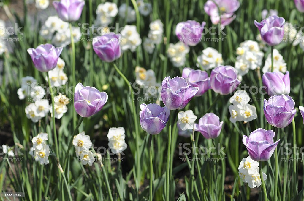 flower bed of white Daffodil and purple tulips stock photo