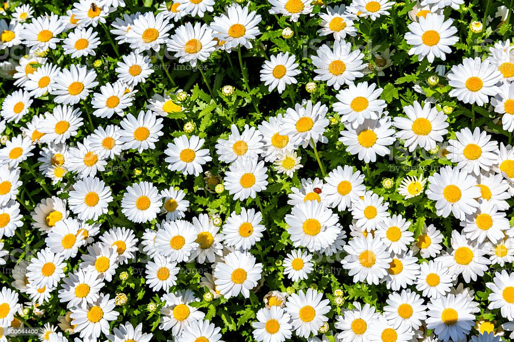 Flower bed of white daisy background stock photo