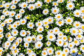 Flower bed of white daisy background