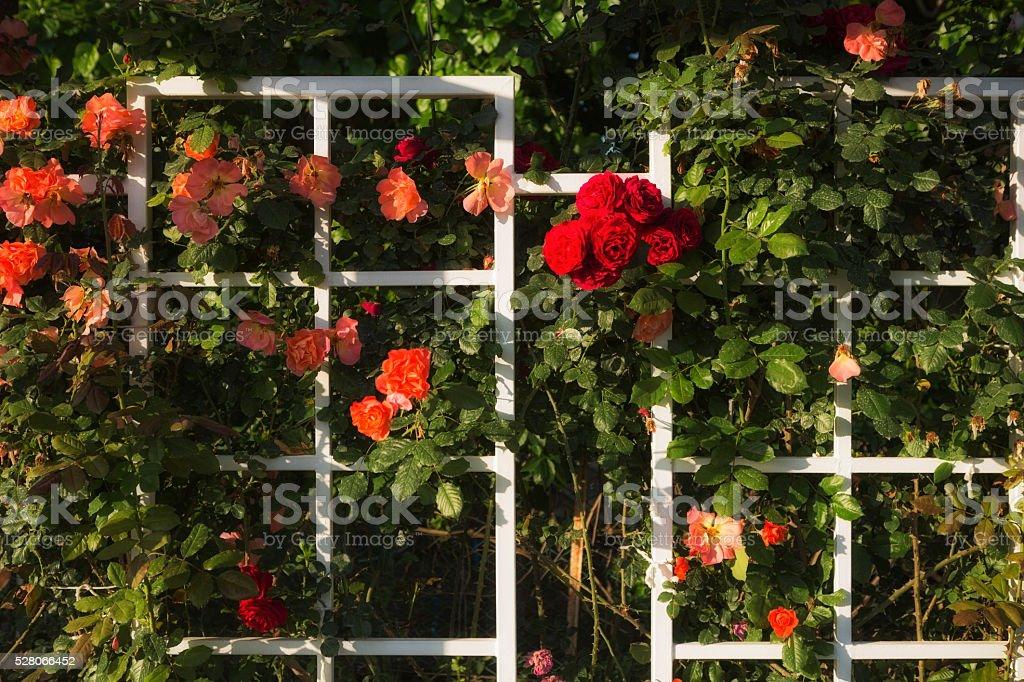 Flower Bed on White Wooden Pergole stock photo