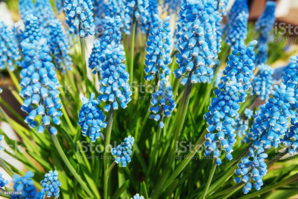 flower bed with blue muscari flowers. Europe stock photo