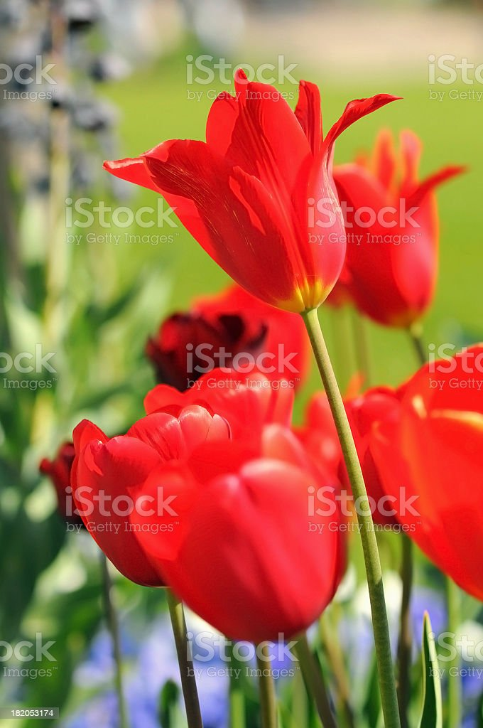 flower bed with red tulips in springtime stock photo