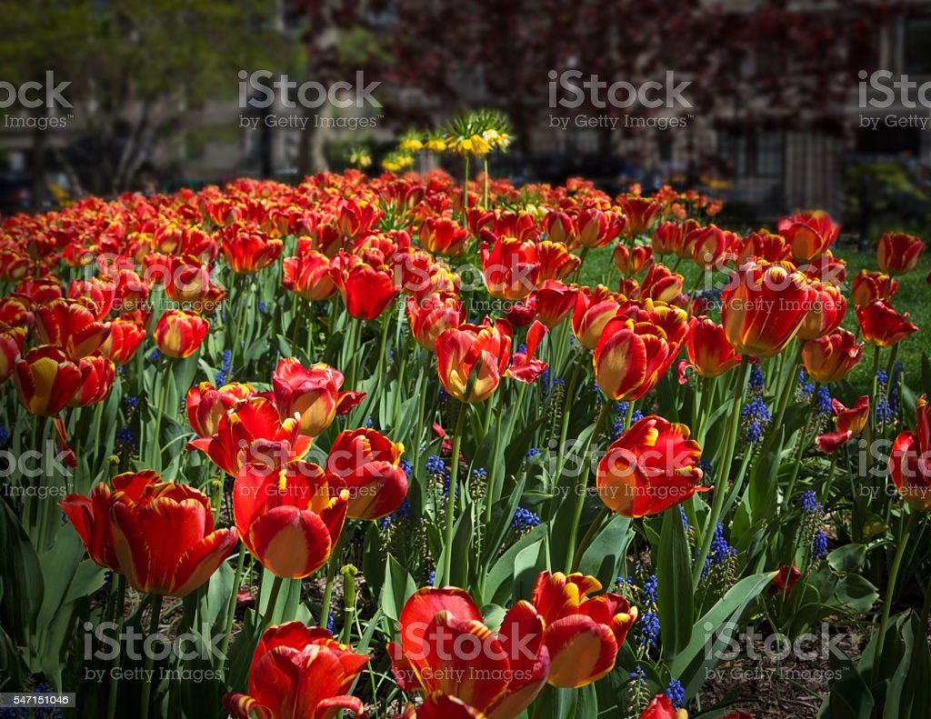 Flower Bed with Tulips in West Village, New York City. stock photo
