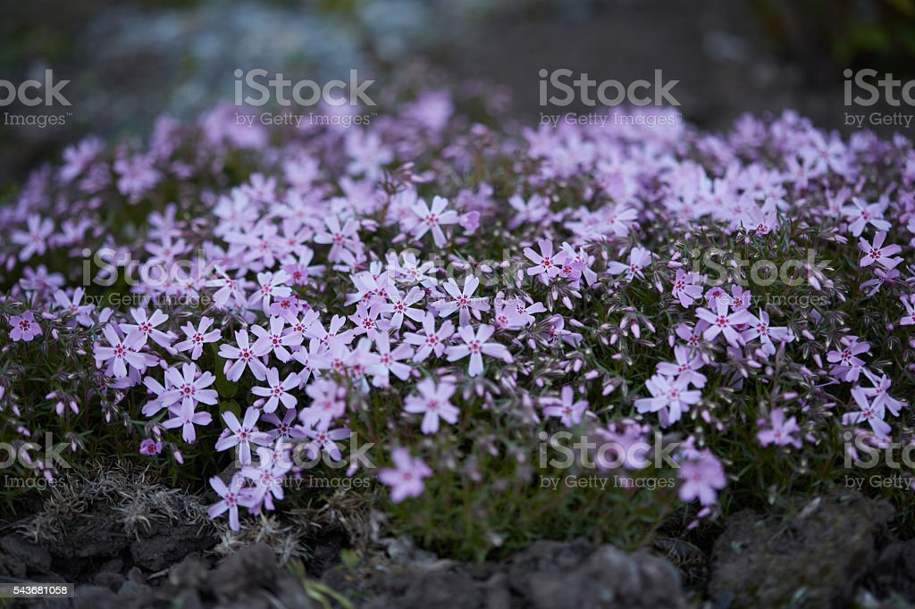 Flower bed with violet flowers Dianthus stock photo