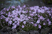 Flower bed with violet flowers Dianthus