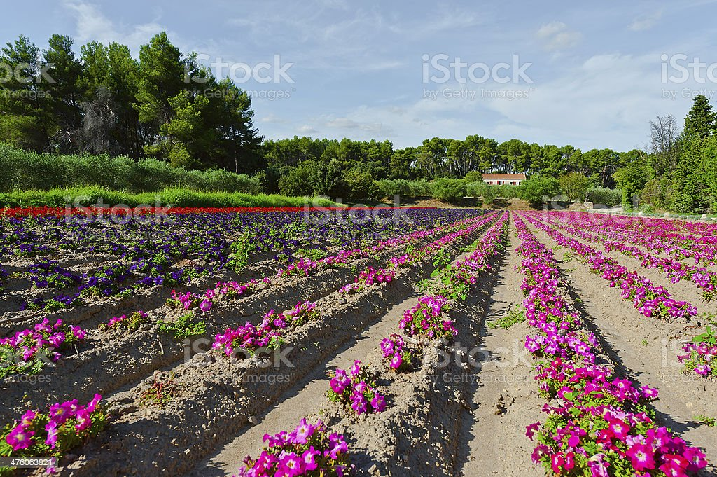 Flower Beds royalty-free stock photo