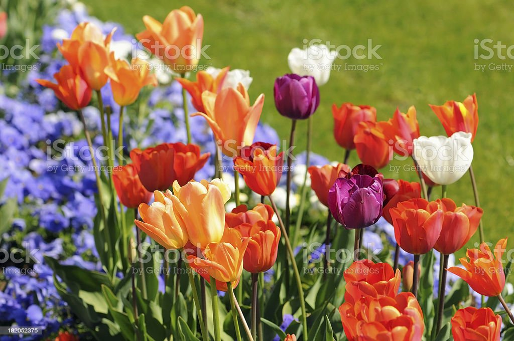 flower bedwith tulip and blue pansy stock photo