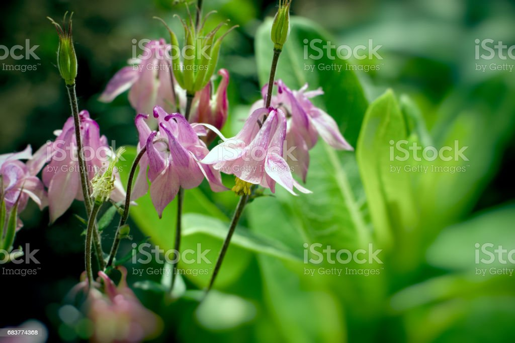 Flower bells in meadow lit by sunlight - beautiful nature in spring stock photo