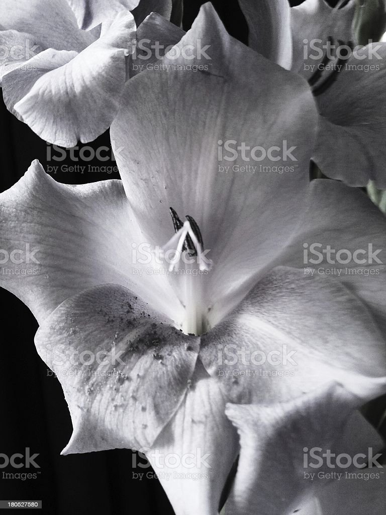 Flower - black and white Gladiolus royalty-free stock photo