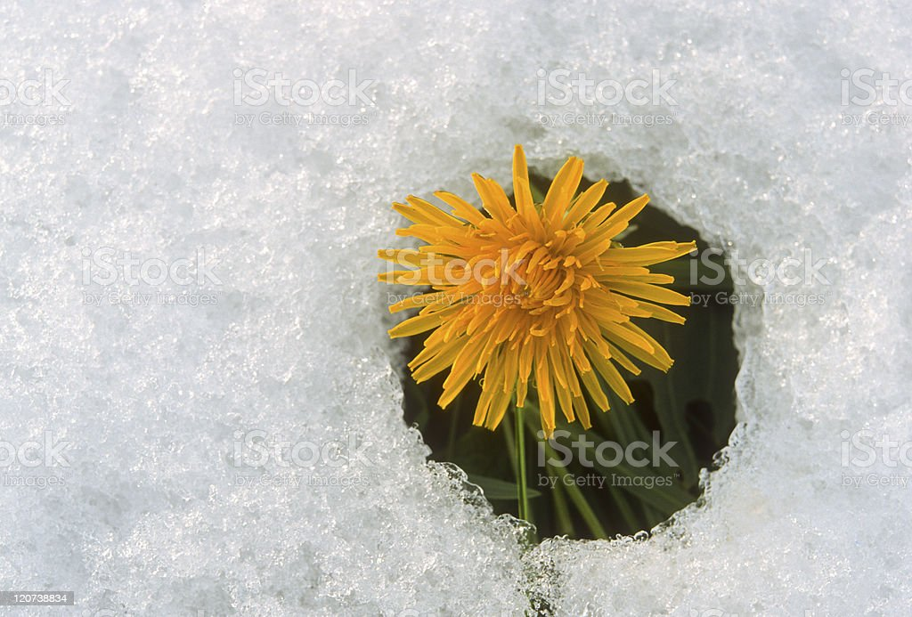 flower blooming through the snow stock photo