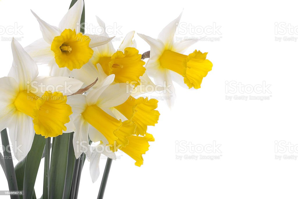 flower blooms over white royalty-free stock photo