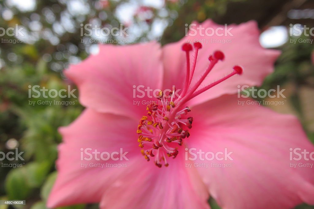 flower blossom in koh samui stock photo