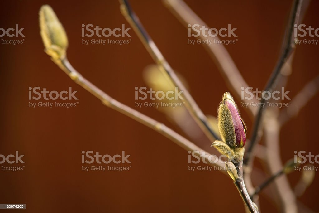 Flower bud is beginning to open stock photo