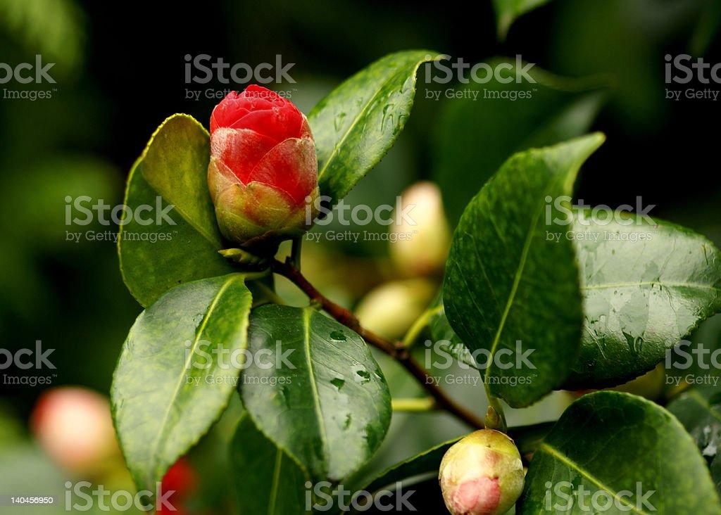 Flor bud foto de stock libre de derechos