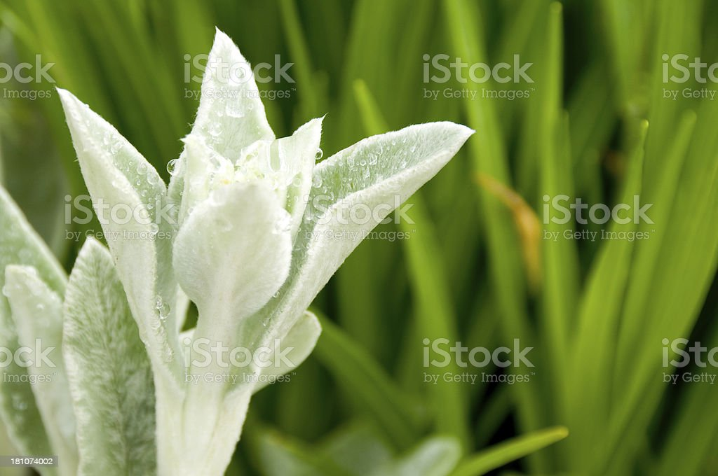 Flower Bud royalty-free stock photo