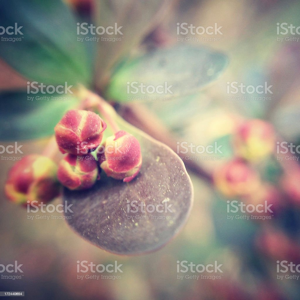 Flower buds royalty-free stock photo