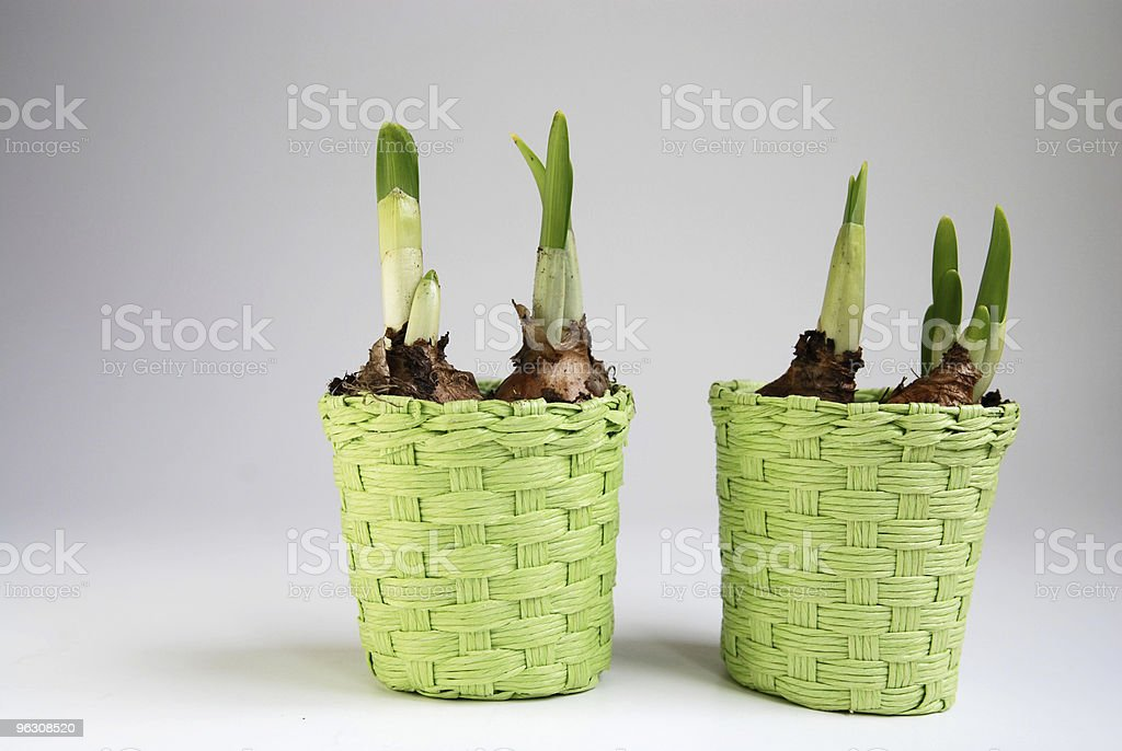 flower bulb in green basket stock photo