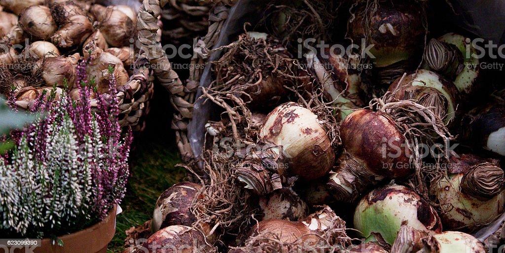 flower bulbs in a basket stock photo