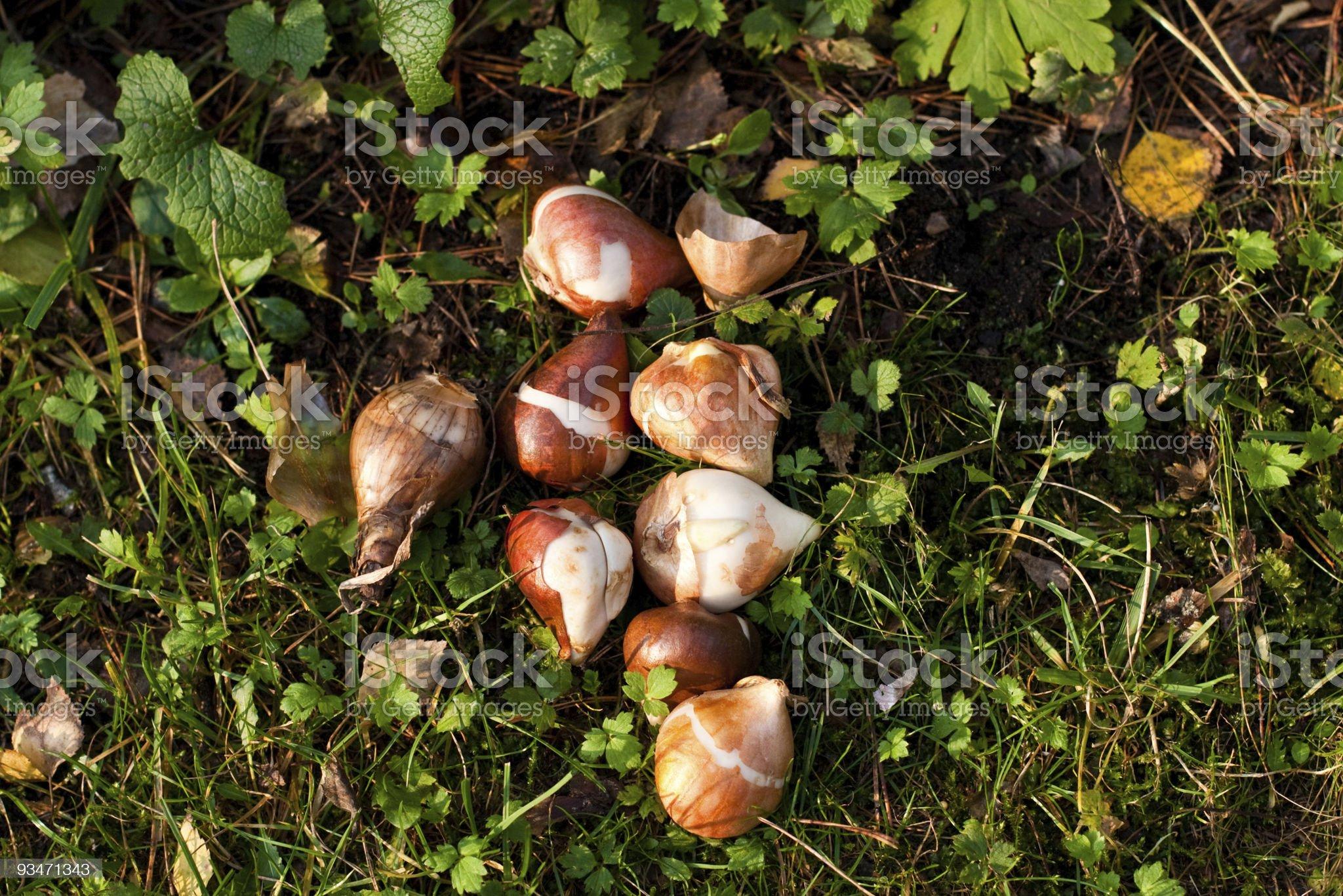 flower bulbs royalty-free stock photo