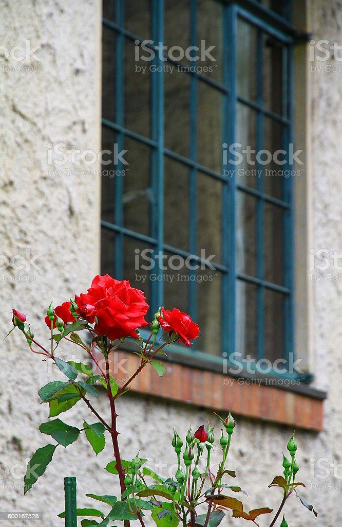 Flor por la ventana foto de stock libre de derechos