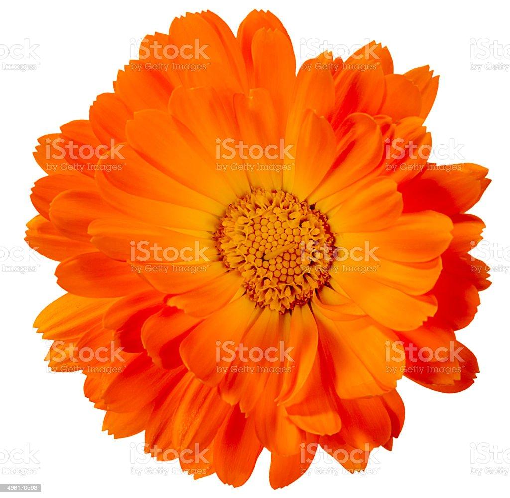 flower calendula stock photo