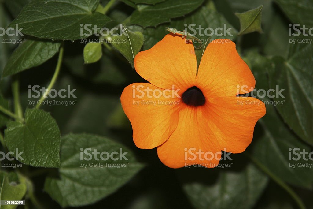 Flower called Acanthaceae stock photo