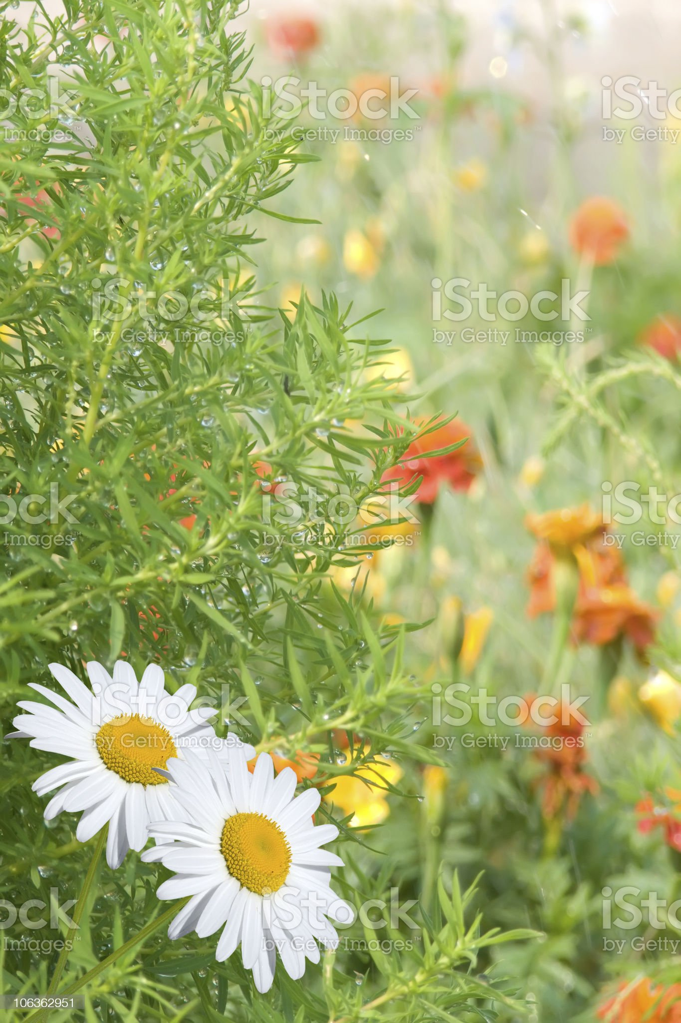 Flower  camomiles royalty-free stock photo