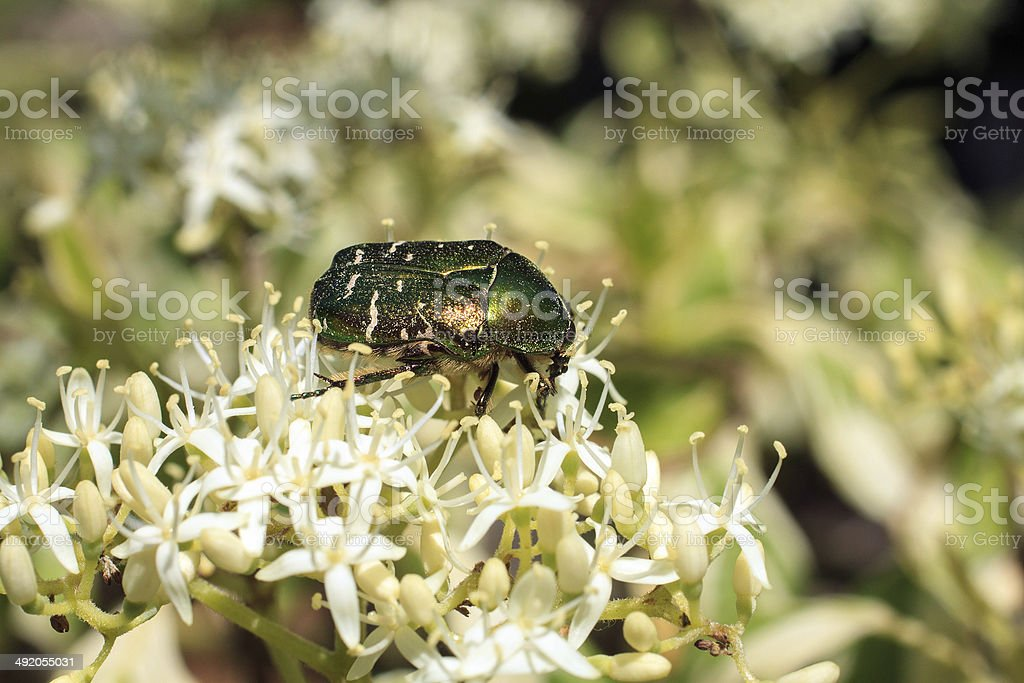 Flower chafer on a blossom of cornus controversa stock photo