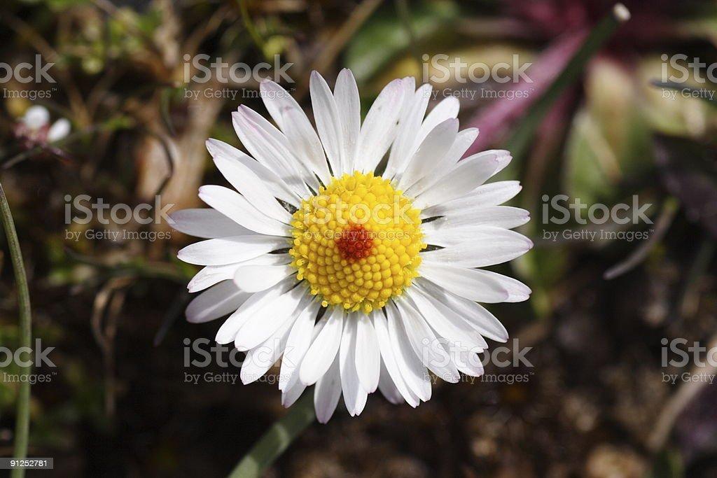 flower - chamomile royalty-free stock photo