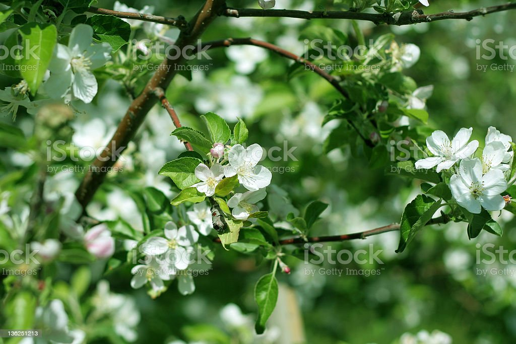 flower cherry royalty-free stock photo