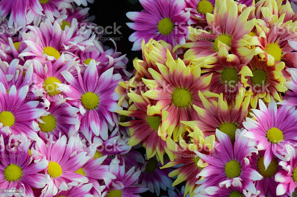 Flower Chrysanthemum royalty-free stock photo