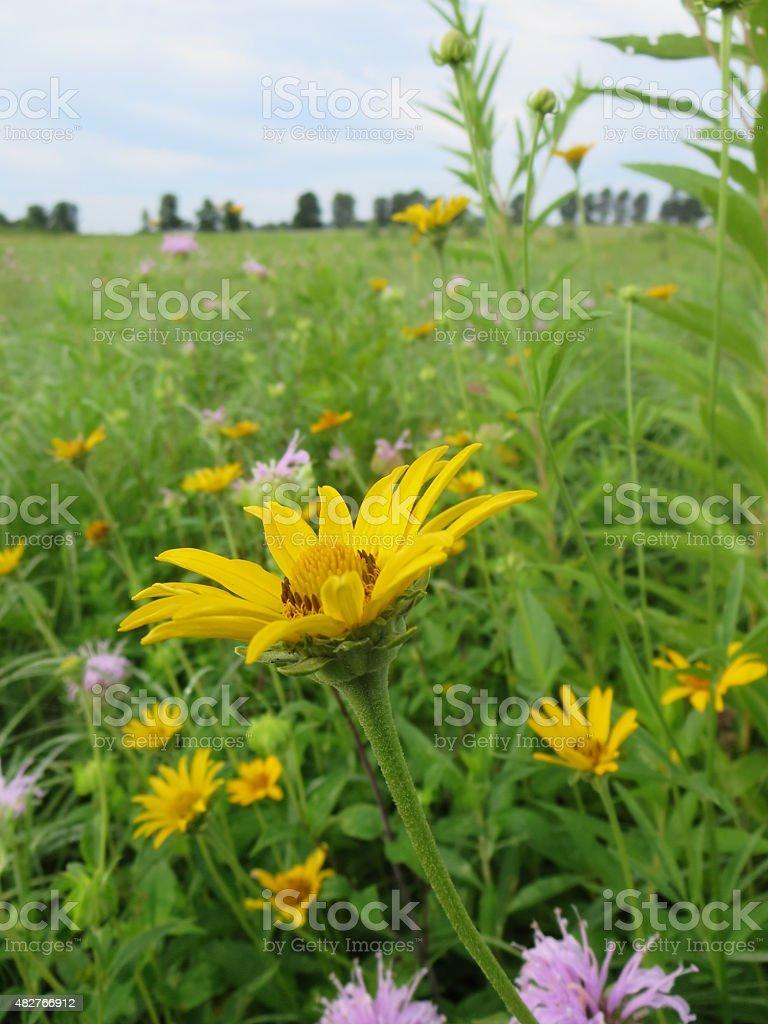 Flower Closeup in Minnesota Prairie stock photo
