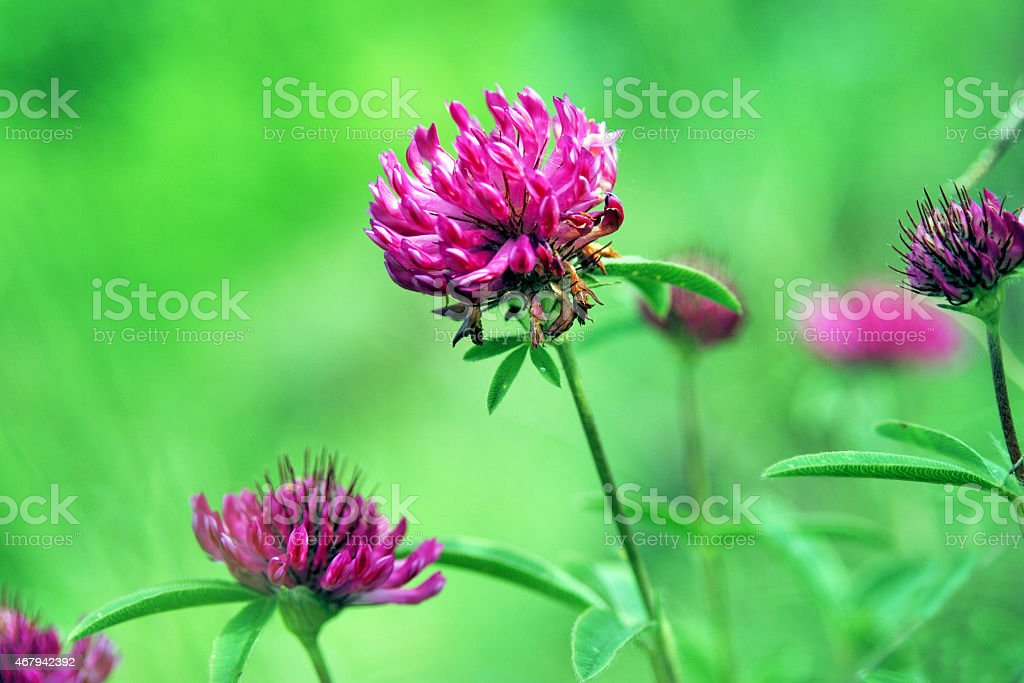 flower clovers stock photo
