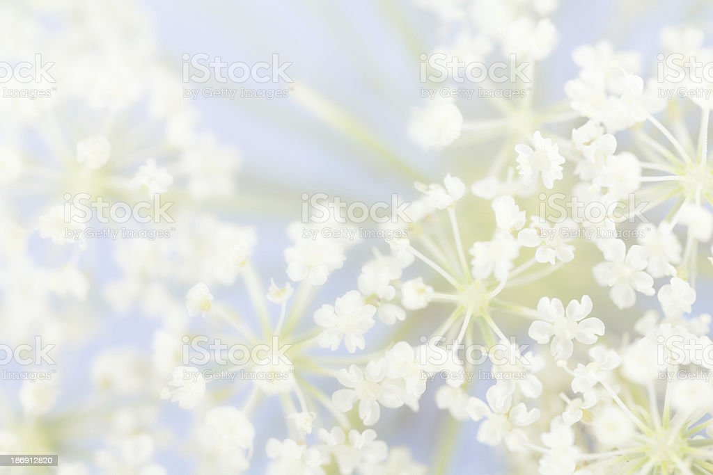Flower clusters in pale blue, vintage processing stock photo