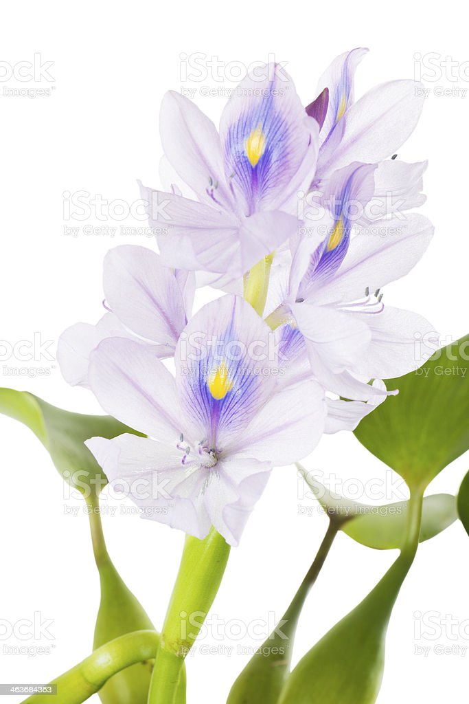 Flower common Water Hyacinth (Eichhornia crassipes)  isolated stock photo
