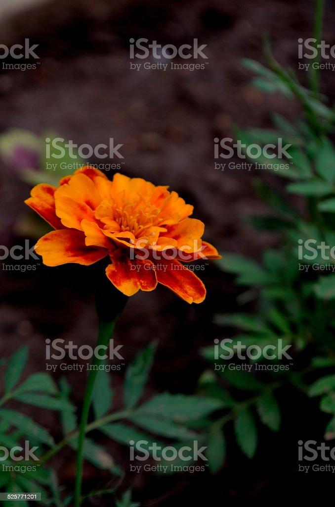 Flower - crysanthemum stock photo