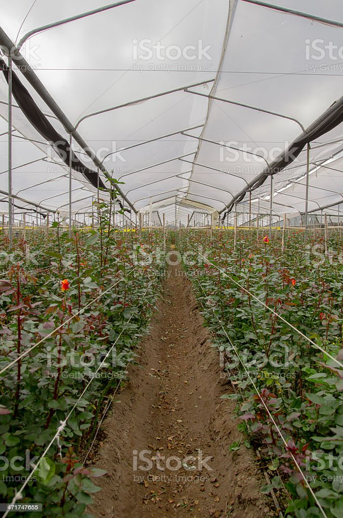 Flower cultivation with roses in a greenhouse royalty-free stock photo