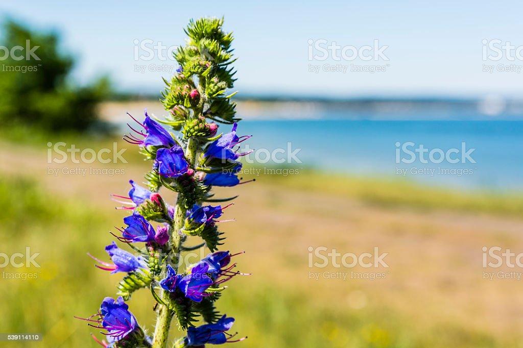 Flower Echium vulgare L.. stock photo