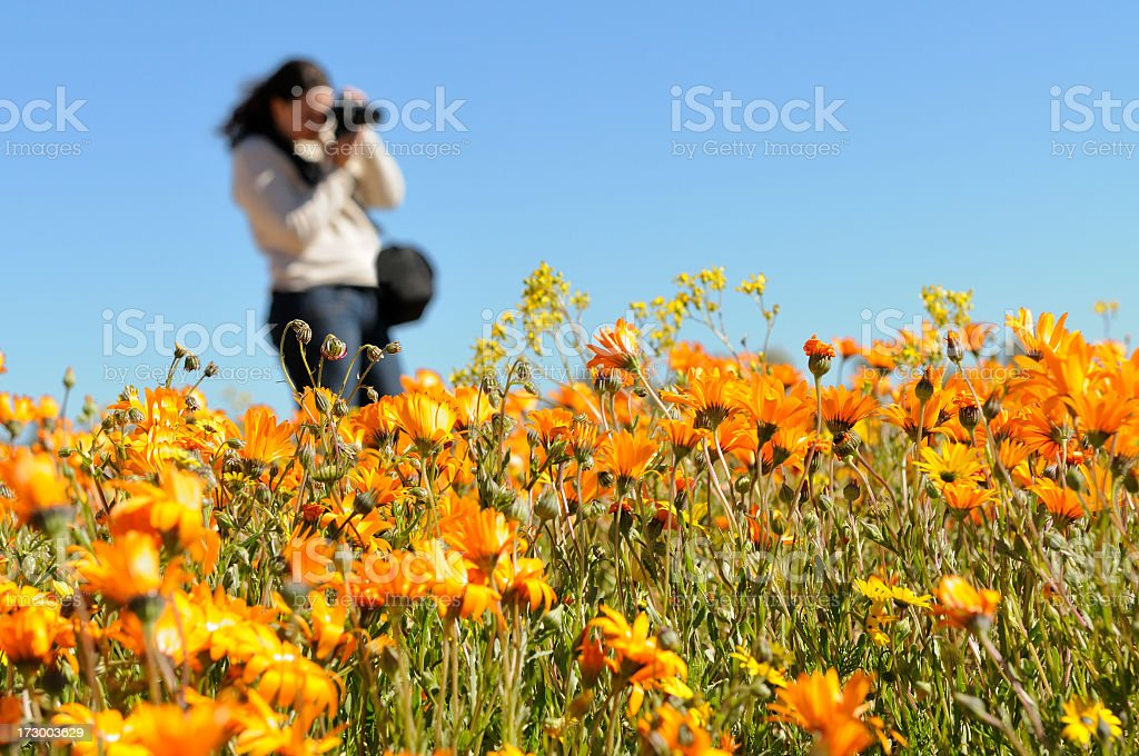 Flower enthusiast photographing daisies stock photo