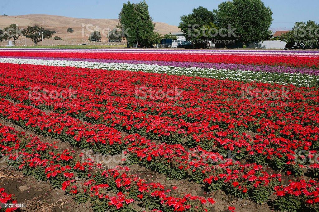 Flower farm in Gilroy stock photo