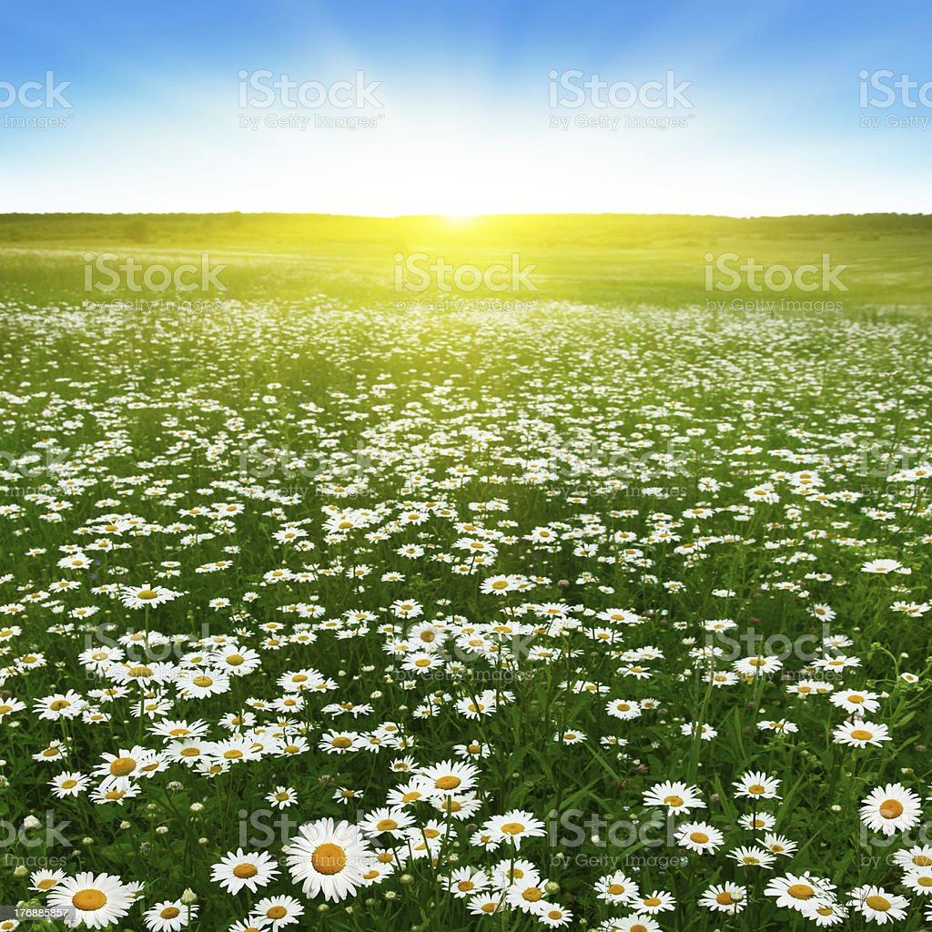 Flower field and sunny day. stock photo