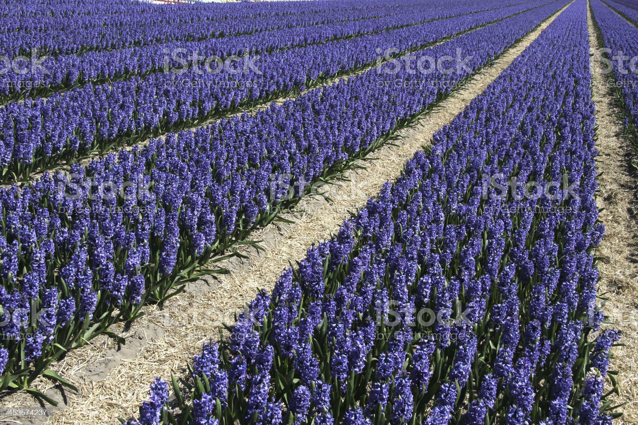Flower field at Keukenhof gardens in The Netherlands royalty-free stock photo