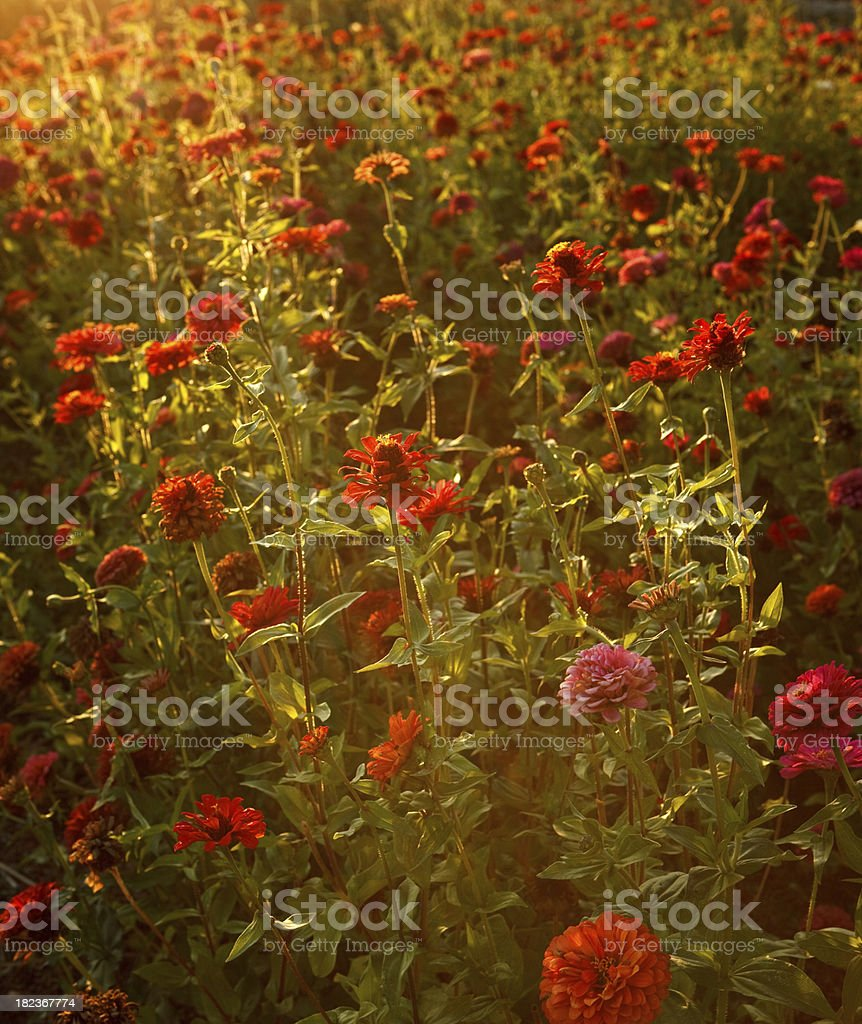 flower field in the napa valley stock photo