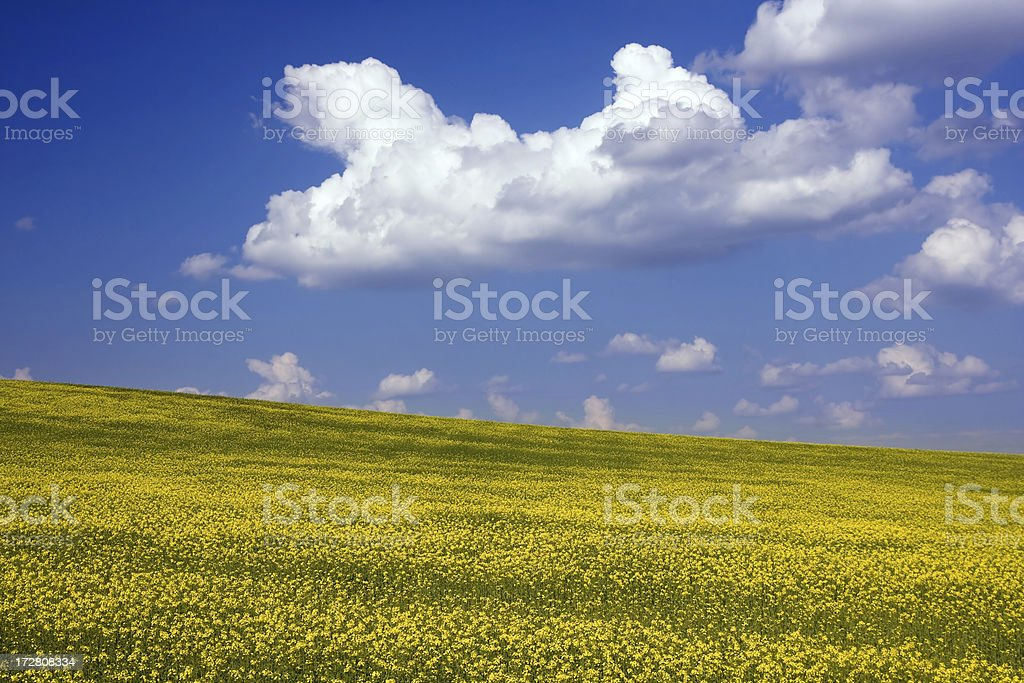 Flower Field royalty-free stock photo